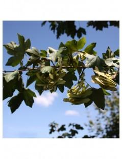Acer campestre, Acer menor o Acer silvestre