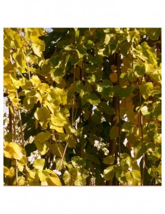 ROBINIA ROUGE